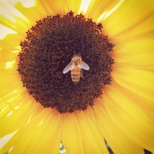 20150327 SunflowerBee